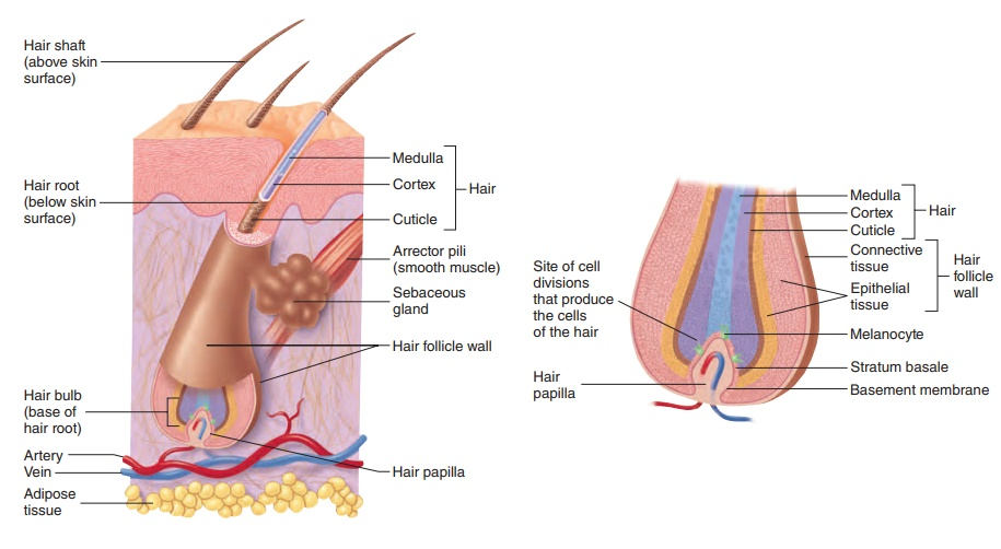 Accessory skin structures