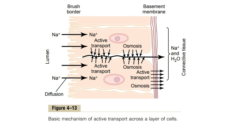Active Transport Through Cellular Sheets