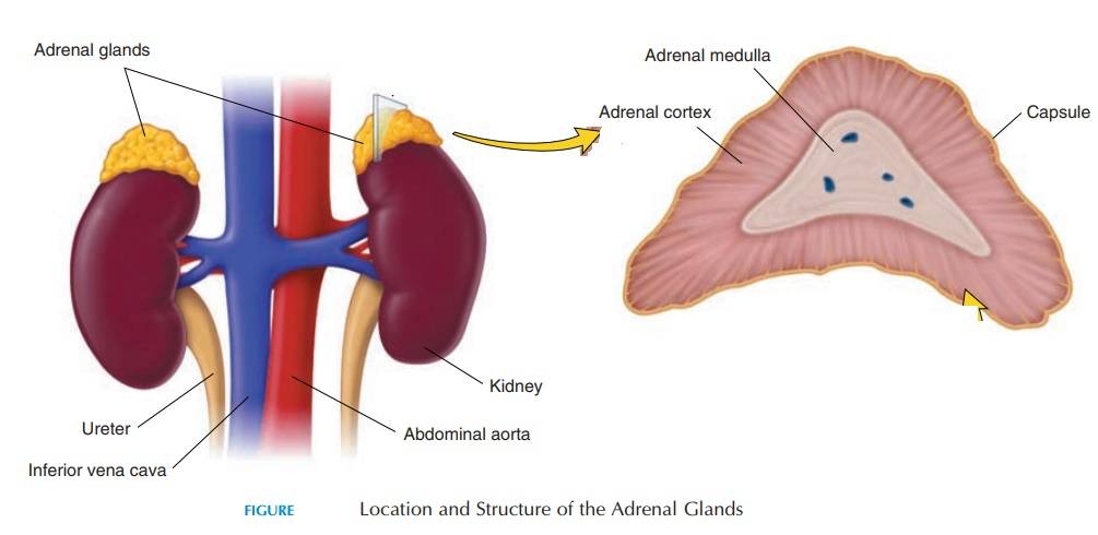 Adrenal Glands - The Endocrine Glands