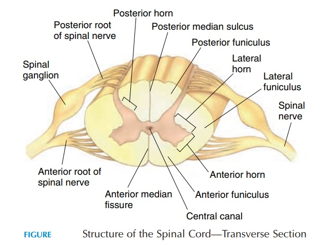 Anatomic Structure of the Spinal Cord