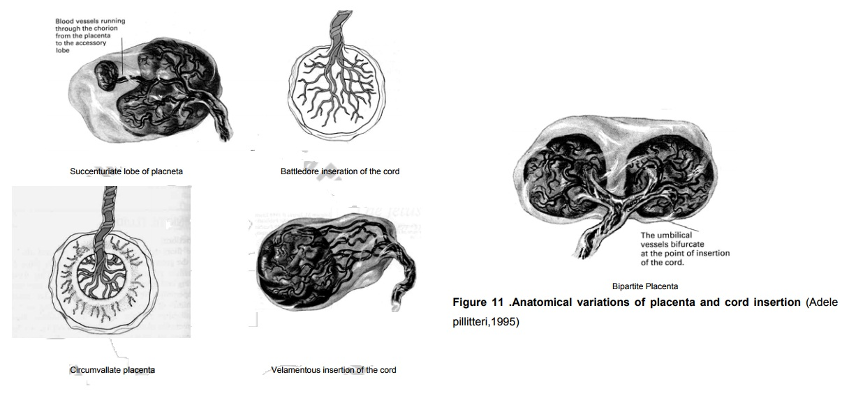 Anatomical Varations of the Placenta and the Cord