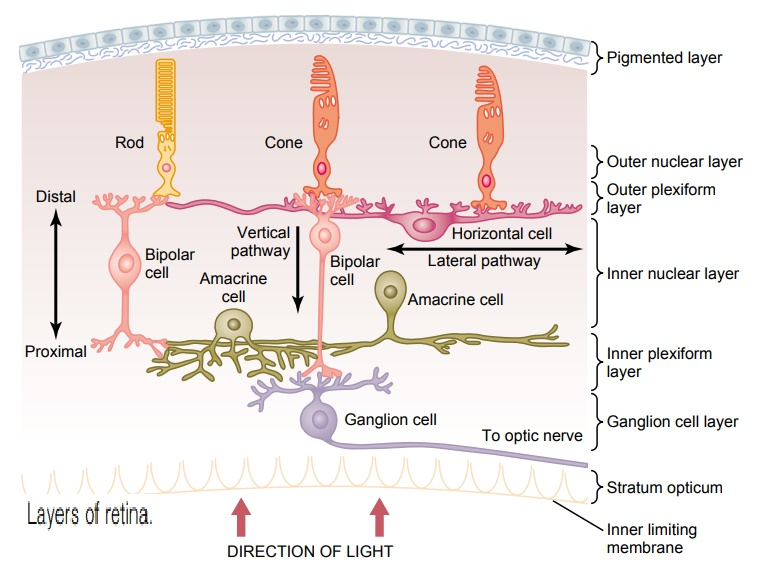 Anatomy and Function of the Structural Elements of the Retina
