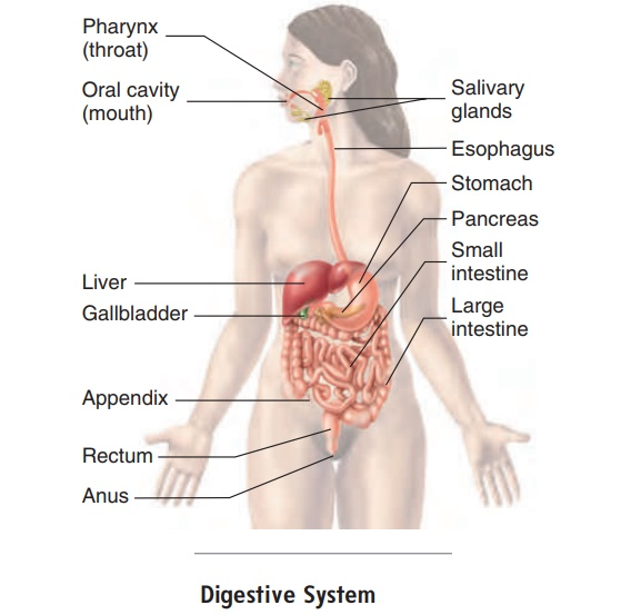 Anatomy And Histology Of The Digestive System