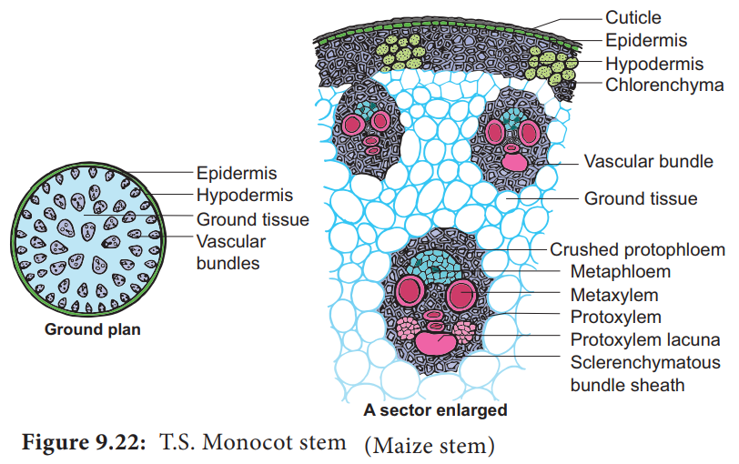 T.S of Monocot stem (Primary Structure)