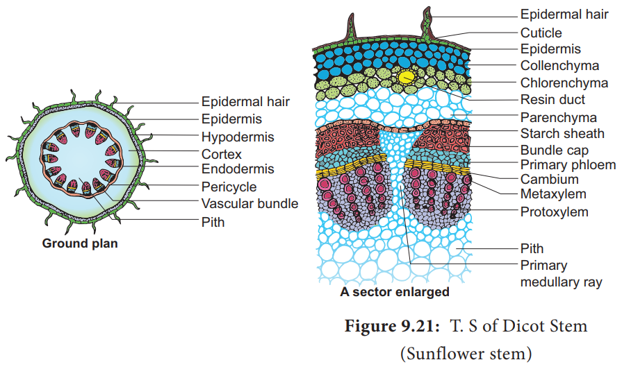 T.S of Dicot Stem ( Primary Structure)