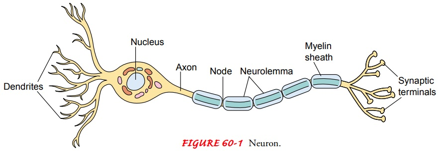 Anatomy of Cells of the Nervous System, Neurotransmitters