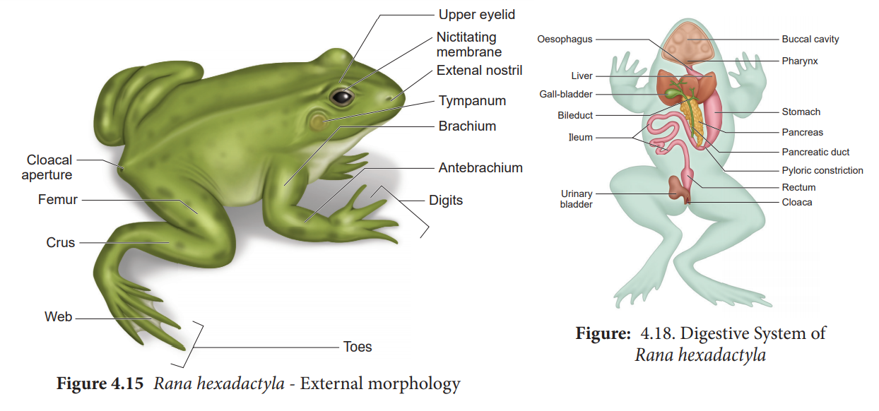 Article Anatomy Of Frog Di Tn