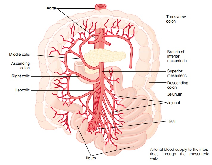 Anatomy of the Gastrointestinal Blood Supply