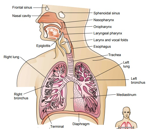 Anatomy of the Lower Respiratory Tract: Lungs
