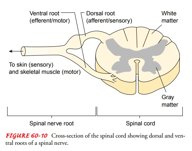 Anatomy of the Peripheral Nervous System