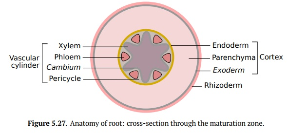 Anatomy of the Root