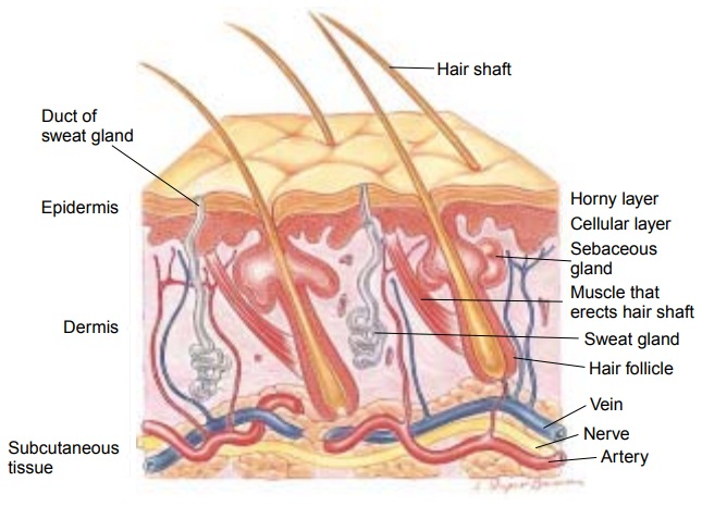 Anatomy of the Skin, Hair, Nails, and Glands of the Skin