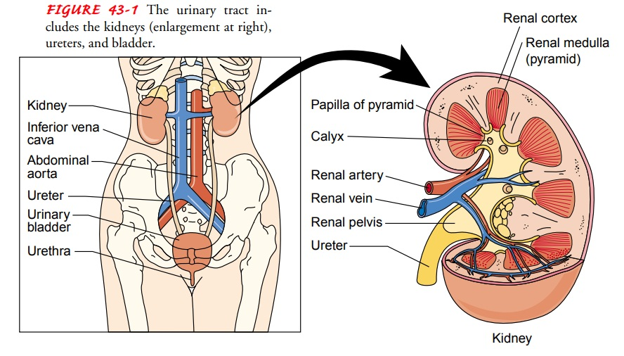 Anatomy of the Upper and Lower Urinary Tracts