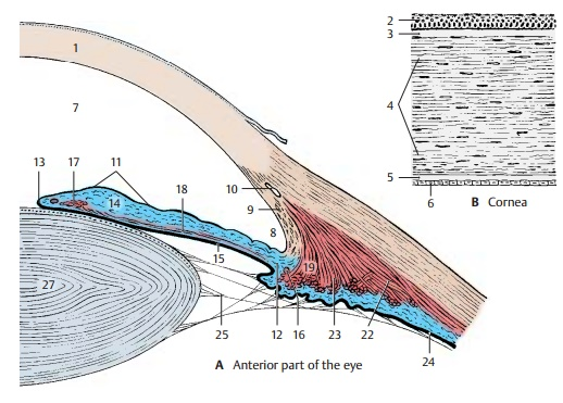 Anterior Part of the Eye
