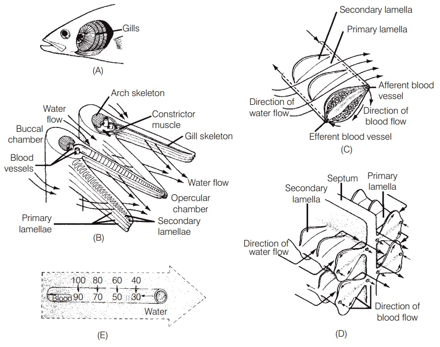 Aquatic breathing - Respiration and ventilation of Fishes