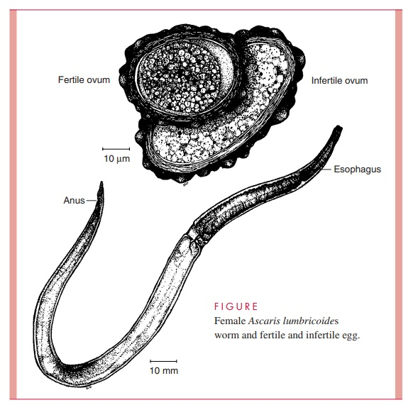 Ascaris lumbricoides : Parasitology