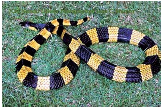Banded Krait - Poisons (Toxins)
