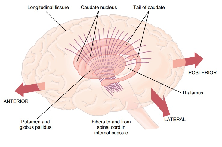Basal Ganglia-Their Motor Functions