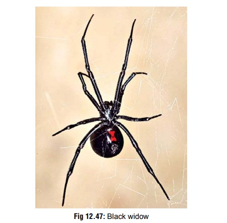 Black Widow - Venomous Arachnids