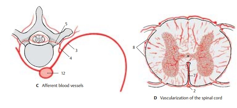 Blood Vessels of the Spinal Cord