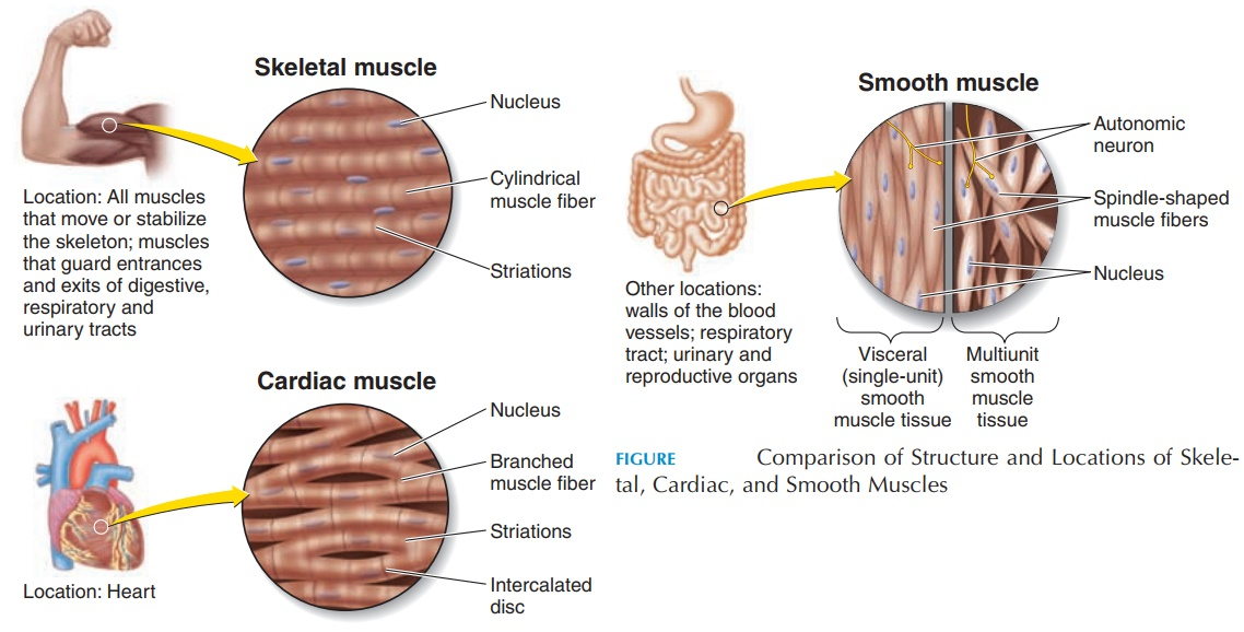 Cardiac, Smooth, and Skeletal Muscle