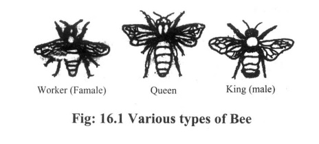 Castes(various types) of bees