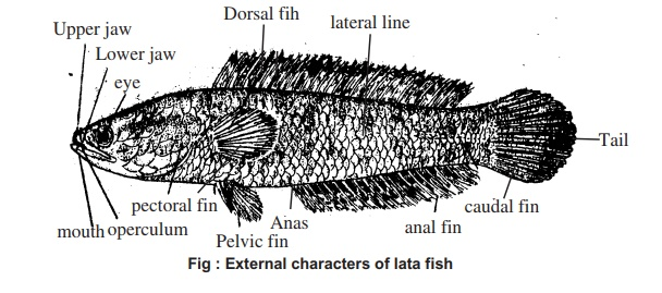 Channa punctatus (Lata/Taki Fish): External Features, Digestive System, Method of Dissection