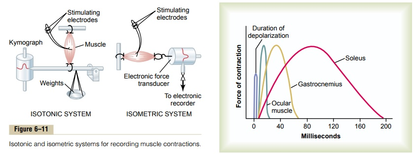 Characteristics of Whole Muscle Contraction