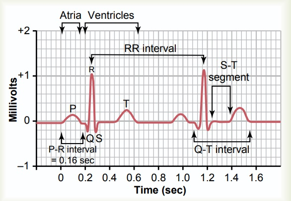 Characteristics of the Normal Electrocardiogram