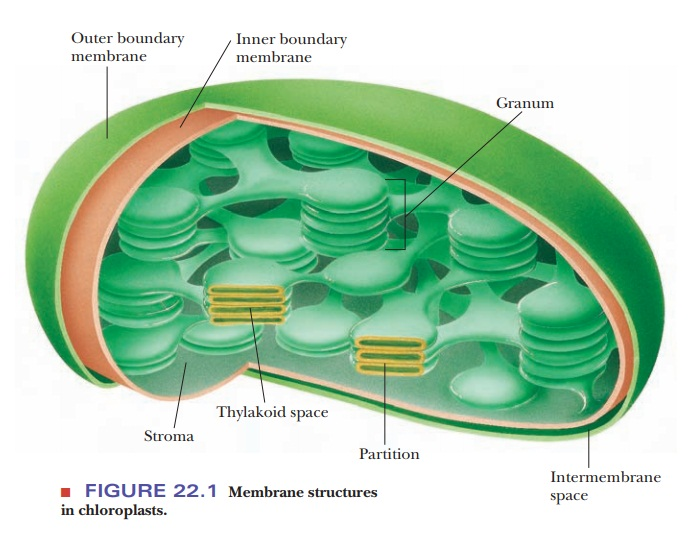Chloroplasts Are The Site Of Photosynthesis