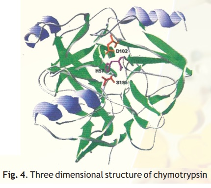 Chymotrypsin, a proteolytic enzyme