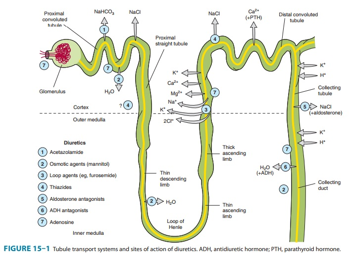 Collecting tubule