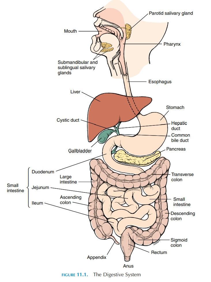 Components of the Gastrointestinal System
