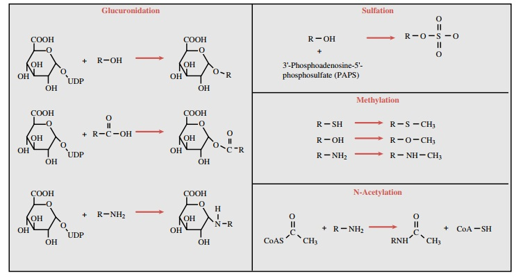 Conjugative Enzymes: Phase II Reactions