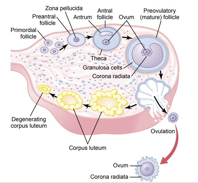 """Corpus Luteum-""""Luteal"""" Phase of the Ovarian Cycle"""