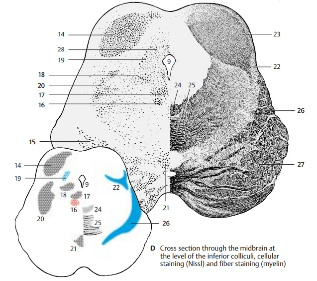Cross Section Through the Inferior Colliculi of the Midbrain