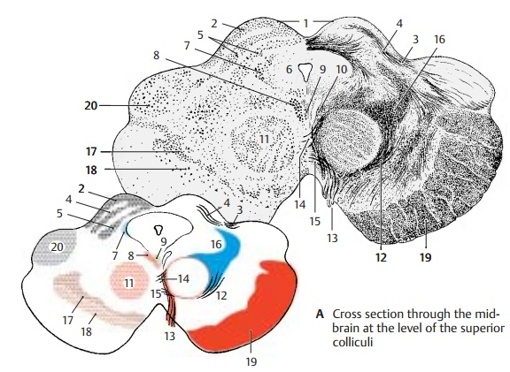 Cross Section Through the Superior  Colliculi of the Midbrain