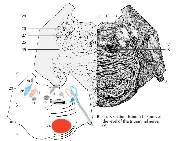 Cross Section at the Level of the Trigeminal Nerve