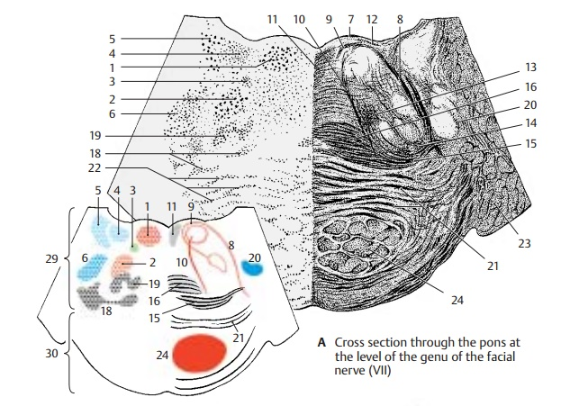 Cross Section at the Level of the Genu of the Facial Nerve