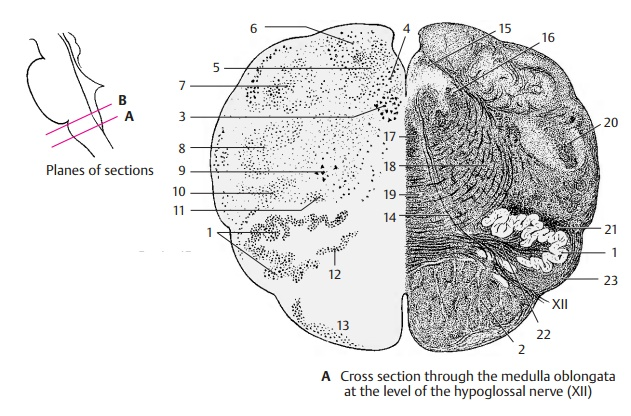 Cross Section at the Level of the Hypoglossal Nerve - Medulla Oblongata