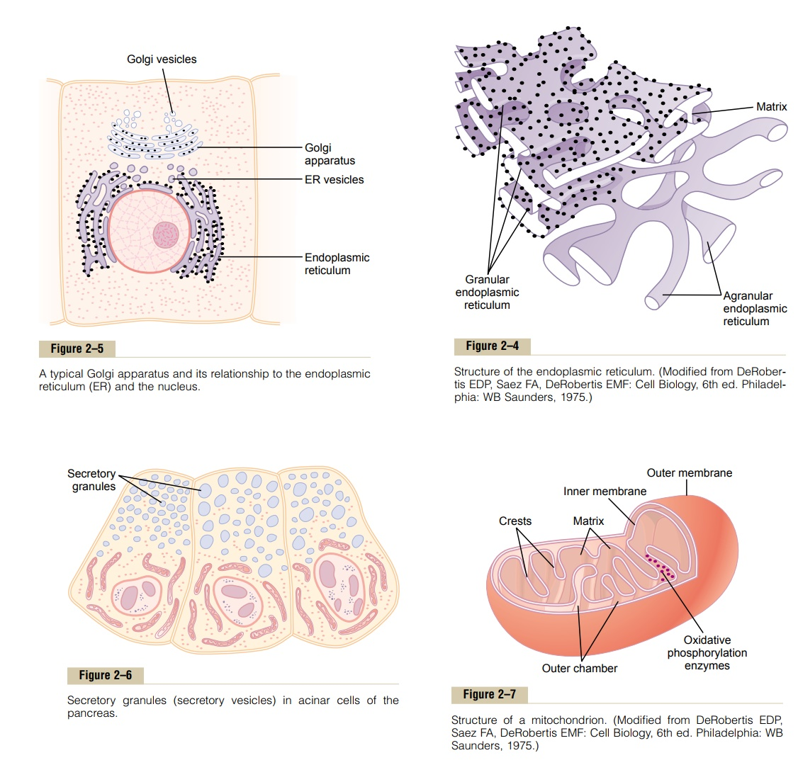 Cytoplasm and Its Organelles - Physical Structure of the Cell
