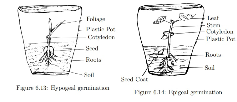 Demonstration of Epigeal and Hypogeal Germination