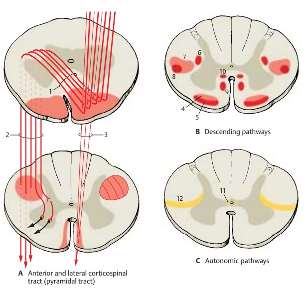 Descending Pathways - Spinal Cord
