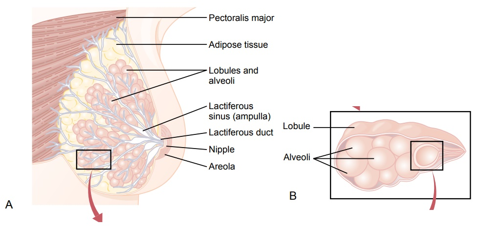 Development of the Breasts - Lactation