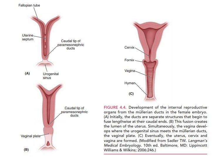 Development of the Genital Ducts
