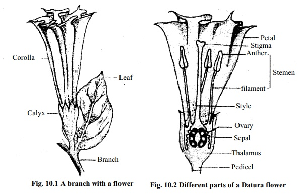 Different Parts of a Flower(Datura Flower)