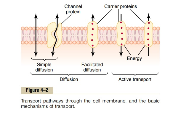 Diffusion Through the Cell Membrane