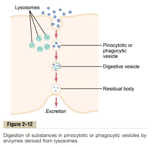 Digestion of Pinocytotic and Phagocytic Foreign Substances Inside the Cell - Function of the Lysosomes