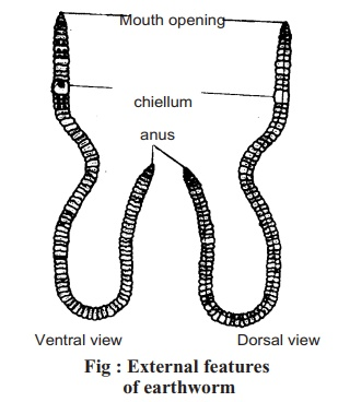 Earthworm: Classification, External Features, Digestive System, Method of Dissection