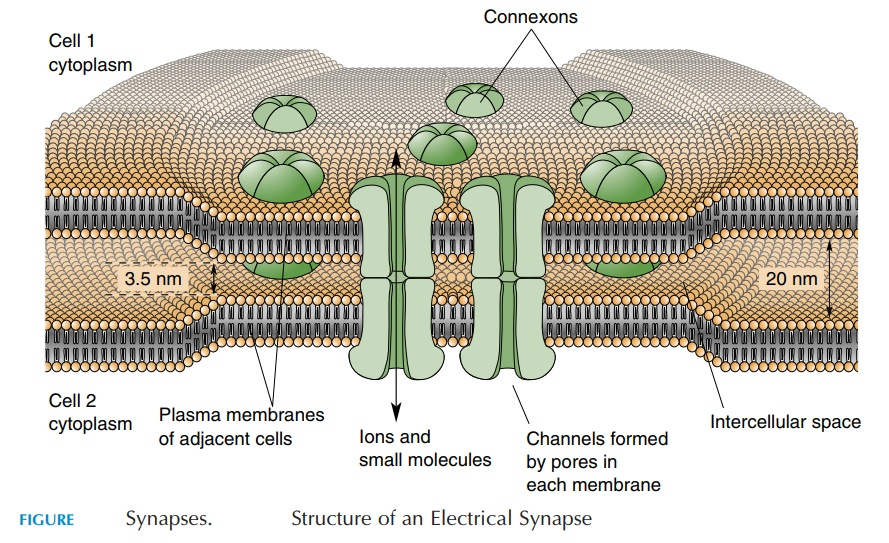 Electrical Synapses - Nervous System
